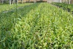 天麻的种植繁殖方式有哪些?
